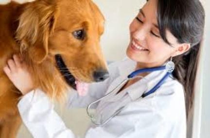 AMH canino - Ferramenta importante para determinar a presença de tecido gonadal funcional em cães.